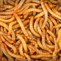 Plastic-eating worms may offer solution to mounting waste