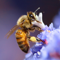 OGI_News_BreedingBetterBees