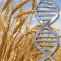 Scientists crack wheat genome