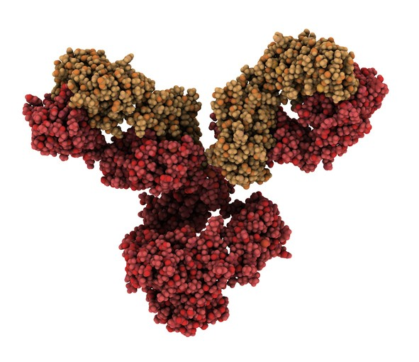 IgG1 monoclonal antibody (immunoglobulin). Plays essential role in immunity against bacteria and viruses. Many biotech drugs are antibodies. Atoms are represented as spheres. Brown shaded light chains, red shaded heavy chains.