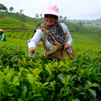 Tea is under threat, but scientists may have found hope