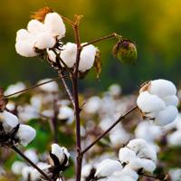Drought tolerant cotton