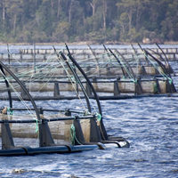 Salmon farmers adapt to climate change with genomics